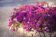开花的九重葛,异乎寻常的花桃红色 库存图片