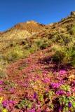开花的五颜六色的死亡沙漠开花谷 免版税库存照片