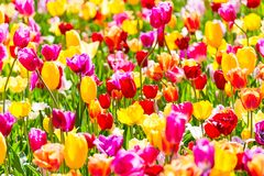 开花的五颜六色的郁金香花圃在Keukenhof花园里 普遍的旅游胜地 利瑟,荷兰,荷兰 选择聚焦 库存图片