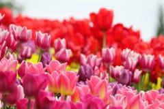 开花的五颜六色的郁金香 图库摄影