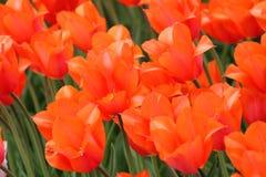 开花的五颜六色的郁金香 免版税图库摄影