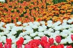 开花的五颜六色的郁金香 免版税库存照片