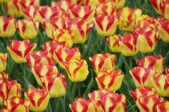 开花的五颜六色的郁金香 库存照片