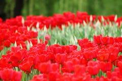 开花的五颜六色的郁金香 库存图片
