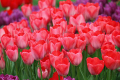 开花的五颜六色的郁金香 免版税库存图片