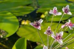 开花的仓促的花,白色与在水百合背景的桃红色淡色调 库存照片