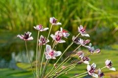 开花的仓促的花,白色与桃红色淡色调 库存图片