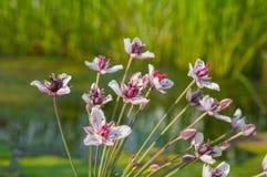 开花的仓促的花,白色与桃红色淡色调 免版税库存照片