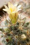 开花的仙人掌垂直 库存照片