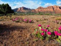 开花的仙人掌领域和山在锡安 免版税库存照片