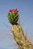 开花的仙人掌la palma西班牙 库存图片