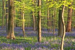 开花的会开蓝色钟形花的草在晴朗的森林里 免版税库存照片