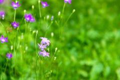 开花的会开蓝色钟形花的草开花在领域的风轮草花在summ 免版税库存照片