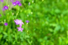 开花的会开蓝色钟形花的草开花在领域的风轮草花在summ 库存照片