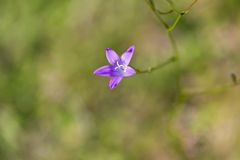 开花的会开蓝色钟形花的草花 免版税库存照片