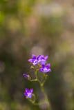 开花的会开蓝色钟形花的草花 库存照片