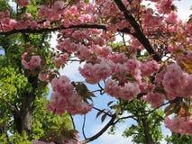 开花的佐仓树 库存照片
