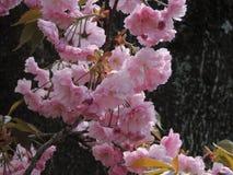 开花的佐仓树 库存图片