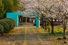 开花的佐仓在3月 库存照片