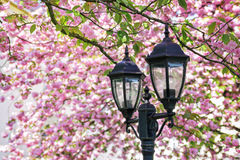 开花的佐仓树特写镜头与街道灯笼的 库存图片
