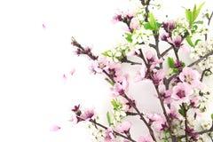 开花的佐仓,春天在与空间的白色背景开花 免版税库存照片
