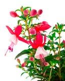 开花的倒挂金钟(fuschia hybrida) 免版税库存图片