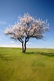 开花的偏僻的结构树 免版税库存照片