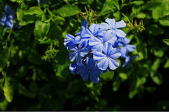 开花的八仙花属 图库摄影
