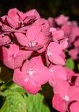 开花的八仙花属在庭院里 免版税库存图片