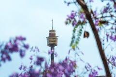 开花的兰花楹属植物开花与在背景的悉尼塔 免版税库存照片