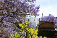 开花的兰花楹属植物树有都市背景 免版税库存图片