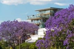 开花的兰花楹属植物树有都市背景 图库摄影
