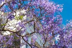 开花的兰花楹属植物树有都市背景 库存图片