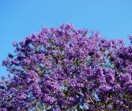 开花的兰花楹属植物结构树 免版税库存图片
