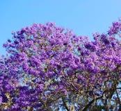 开花的兰花楹属植物结构树 免版税图库摄影