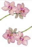开花的兰花背景  库存图片