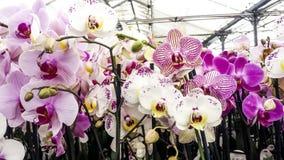 开花的兰花 飞蛾或兰花植物兰花,美好的colorf 库存图片
