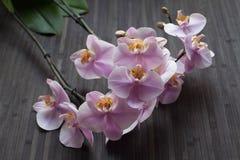 开花的兰花 库存照片