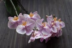 开花的兰花 库存图片