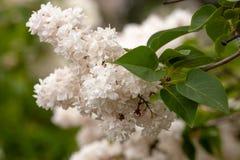 开花的共同的紫丁香属植物寻常的淡紫色灌木白色培育品种 与束的春天风景嫩花 免版税图库摄影