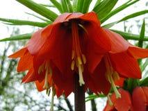 开花的冠皇家在春天庭院里 冠皇家贝母贝母imperialis花 免版税库存图片