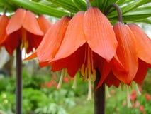 开花的冠皇家在春天庭院里 冠皇家贝母贝母imperialis花 免版税图库摄影