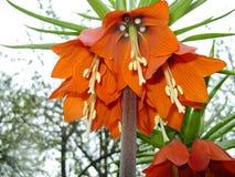 开花的冠皇家在春天庭院里 冠皇家贝母贝母imperialis花 免版税库存照片