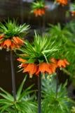 开花的冠皇家,贝母imperialis在春天庭院里 库存图片