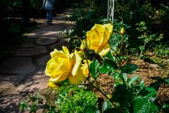 开花的冬天上升了 免版税图库摄影