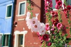 开花的冬葵在Burano意大利 免版税库存图片