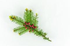 开花的冷杉分支特写镜头与小红色未成熟的锥体的 库存图片