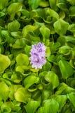 开花的凤眼兰Eichhornia漂浮在池塘的Crassipes 库存照片
