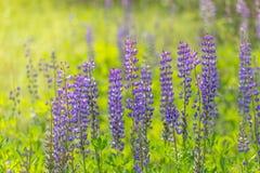 开花的凶猛花 羽扇豆的领域 紫罗兰色和桃红色羽扇豆在草甸 蓝色羽扇豆秀丽花在早晨 免版税库存图片