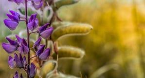 开花的凶猛花 阳光在植物发光 紫罗兰色春天和夏天花 免版税库存图片